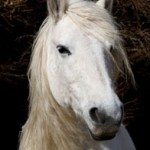 white_horse_looking_196