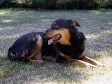 Energy Healing for Dex-13 yr old German Shepherd/Rottie