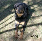 Energy Healing For Meg, 8 year old Rottie
