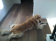 Reiki for Cooper the Golden With Possible Psychogenic Polydipsia