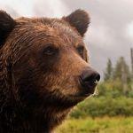 Kauai Brown bear