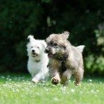 two-race-dogs-750570_1280