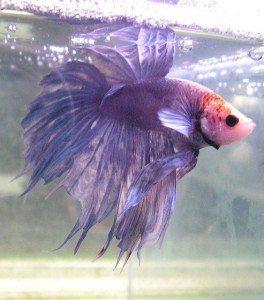 Tribute to Cherry the Betta Fish