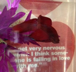 Reiki Attunement For Peppermint the Betta Fish