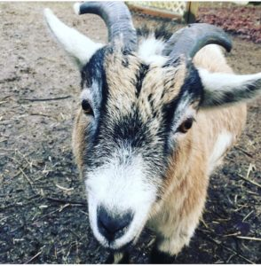 Reiki For Watson the Goat