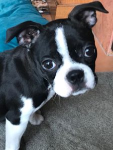 Daisy Boston Terrier Puppy – Why do you Poop on the Carpet?