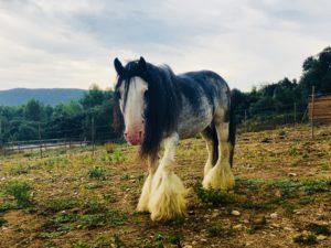 Reiki Attunement for Dunbrody the Stallion